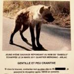 Animal domestique perdu, une hyène.