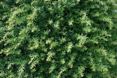 limite plantation arbre voisin