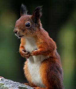Écureuil dressé pour saccager les fleurs de la voisine.